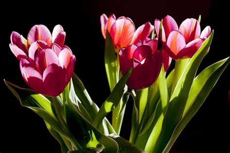 pflanzen zu hause tulpen zu hause ganzj 228 hrig pflanzen dekoking