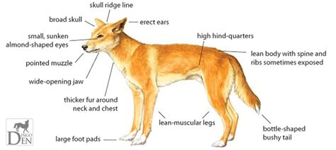 dingo diagram image gallery dingo characteristics