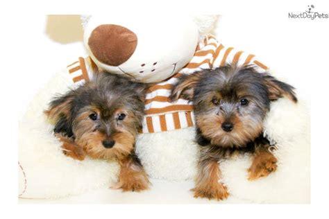 teacup yorkies for sale in ohio 200 cyber week goldie our teacup yorkie 4lbs terrier yorkie puppy