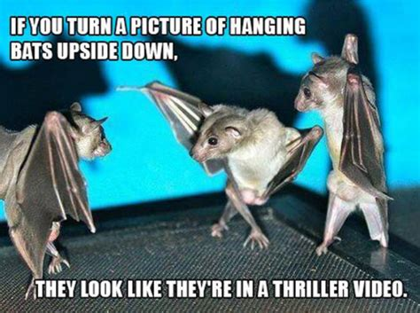 Bat Meme - if you turn a picture of hanging bats upside down funny