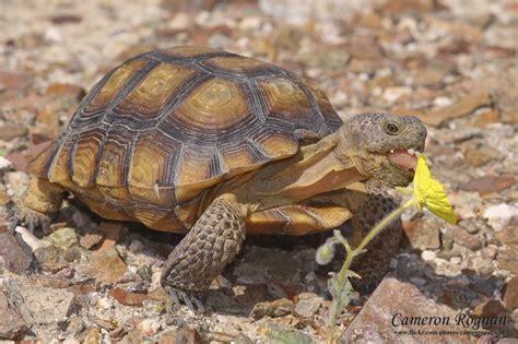 animal zoo life tortoise pet tortoise tortoise trust baby tortoise tortoise breeders tortoise