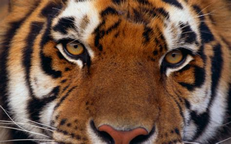 tiger themes for windows 7 free download free download animal themes for windows 7