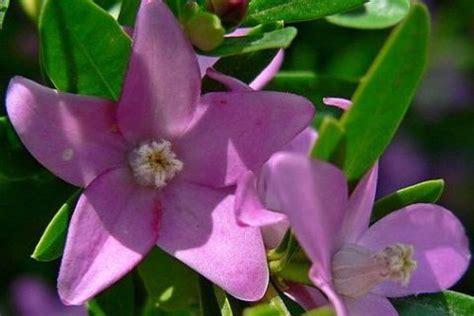 fiori australiani per ansia ansia gastrite risolvile con il fiore australiano crowea