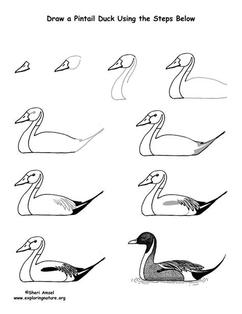 how to draw ducks duck pintail drawing lesson