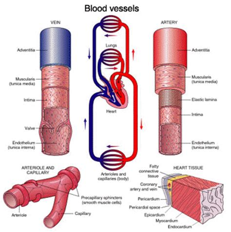 diagram of the blood vessels chapter 2 blood circulation and transport anjung sains