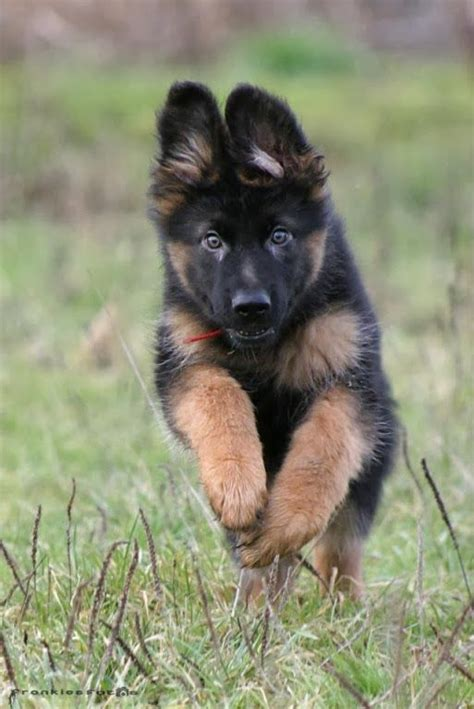 baby german shepherd puppies 17 best ideas about baby german shepherds on german shepherd puppies