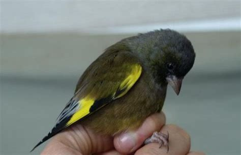 riproduzione cardellini di cattura in gabbia allevamento fringillidi e pappagallini allevare e ama