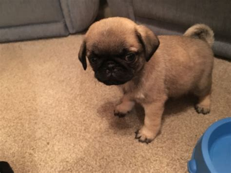 black and fawn pug kc reg black and fawn pug pups boys reading berkshire pets4homes