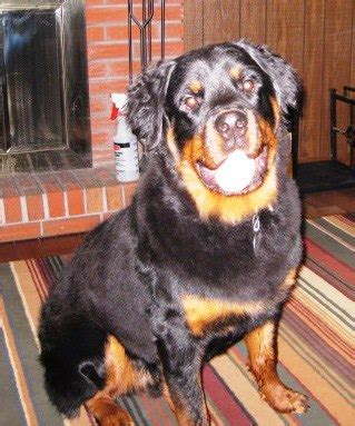 german haired rottweiler haired rottweiler www pixshark images