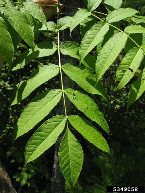 black ash tree cultivation information  black ash