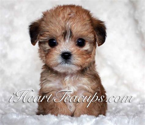 teddy bear cut for teacup yorkie teacup teddy bear dogs