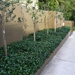 Carpet Purchase Buy Star Jasmine On The Plant Hub