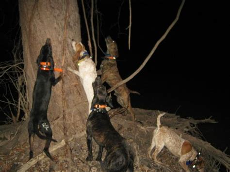 how to a to coon hunt coon