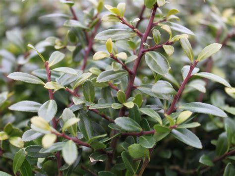 buchsbaum alternative buchsilex niedriger bergilex stokes ilex crenata