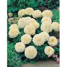 Jual Bibit Vanilla jua bibit bunga cantik jual bibit bunga murah