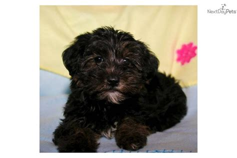 black teacup yorkie pin terrier teacup price on