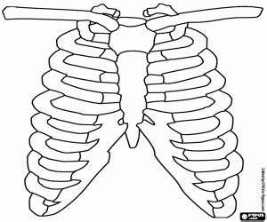 gabbia toracica umana disegni di corpo umano da colorare e stare