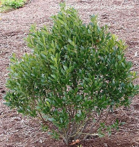 medium size shrubs for shade 112 best images about bushes shrubs and plants on trees and shrubs shade garden