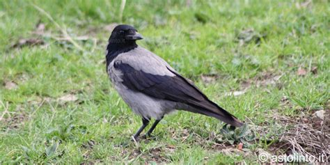 cornacchia grigia alimentazione cornacchia grigia corvus corone cornix astolinto 176