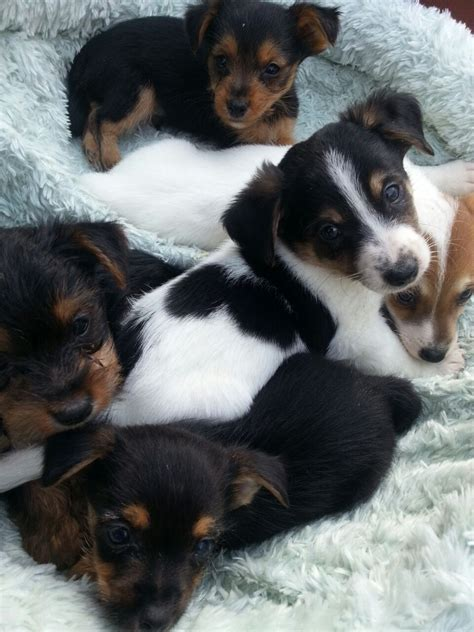 boy yorkie puppies for sale x yorkie puppies for sale all boys addlestone surrey pets4homes