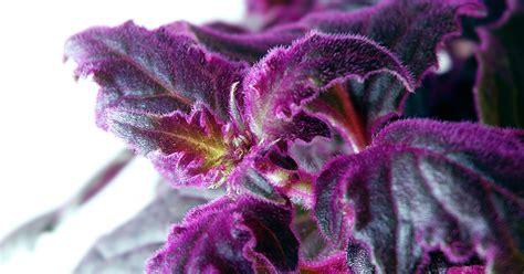 purple passion vine aspca