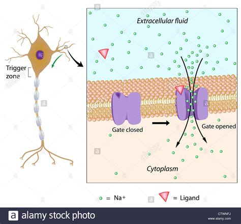 neuron stimulated   chemical local potential generated