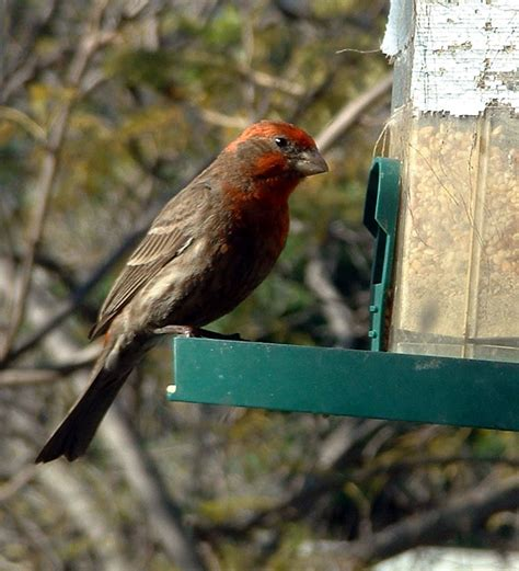 house finch scientific name house finch scientific name 28 images house finch