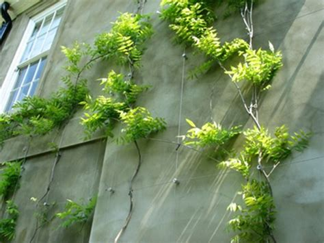 how to plant a climbing wisteria vines to wall newhairstylesformen2014