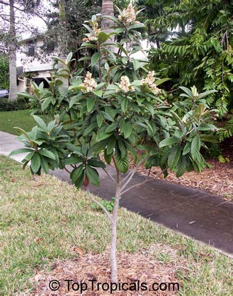 japanese fruit tree loquat eriobotrya japonica