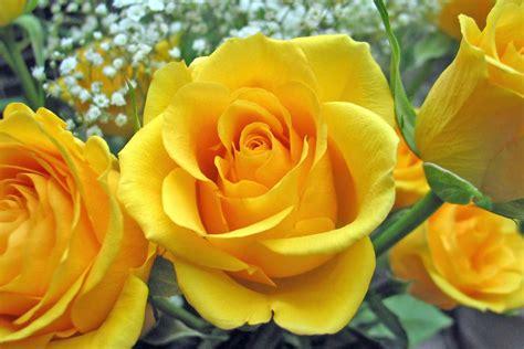 wallpaper bunga mawar yang indah gambar gambar bunga mawar yang indah gambar foto wallpaper