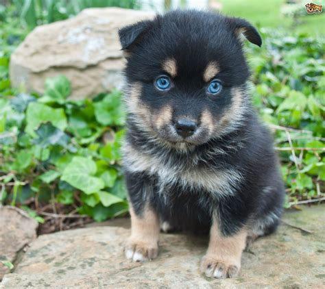 pomski puppy pomsky breed information buying advice photos and facts pets4homes