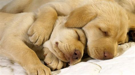 golden retriever puppies sleeping bulldog puppies sleeping wallpaper