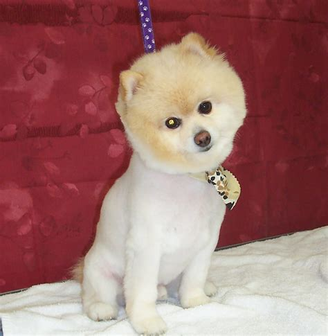 summer haircut pomeranian pomeranian cuts for summer hairstyle gallery