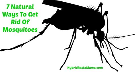 how to get rid of mosquitoes 7 natural ways to get rid of mosquitoes by hybrid rasta mama