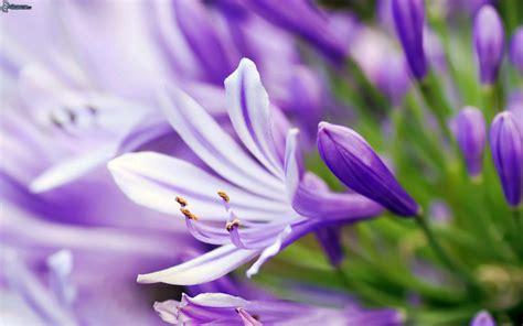 fiori viola immagini fiori viola