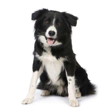 alimentazione border collie border collie razza descrizione carattere cuccioli