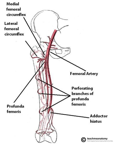 diagram of femoral artery femoral artery diagram modernheal
