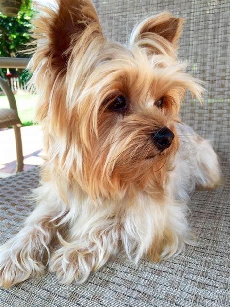 6 year yorkie i found miley on petits chiens animal et toutous