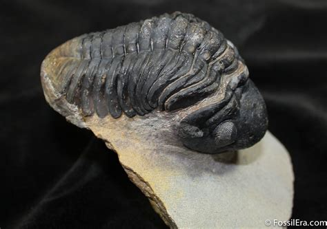 Fossil Es 3755 big arched reedops trilobite 3 4 inches for sale 1523