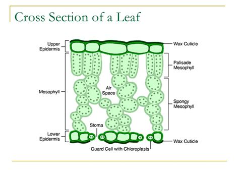 cross section of a leaf photosynthesis step grade ppt video online download
