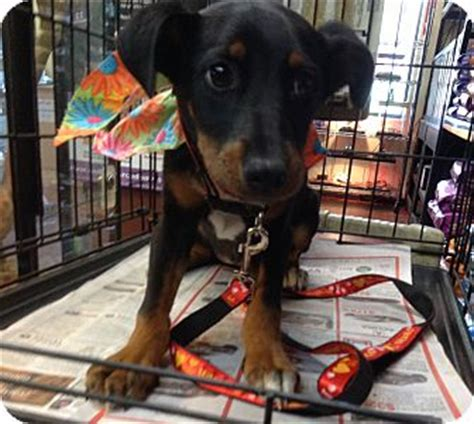 doberman mix golden retriever adopted puppy el cajon ca doberman pinscher golden retriever mix