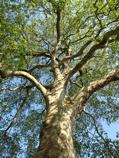 Western Garden Book Zones - 60 best images about london plane tree on pinterest planes vintage botanical prints and plants