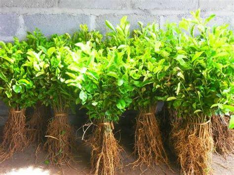 Bibit Pohon Jeruk Santang Madu harga tanaman eucalyptus info tanaman lengkap