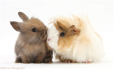 Put Your Chicken Or Rabbit Or Guinea Pig In An Omlet Omlet Eglu by Pets Guinea Pig And Baby Lop Rabbit Photo Wp31806