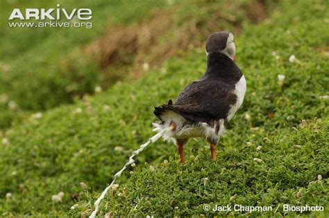 puffin photo fratercula arctica a21870 arkive
