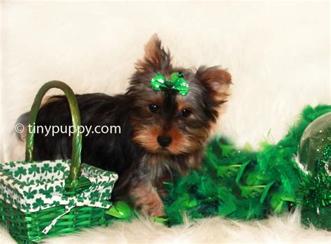 teacup yorkie illinois teddy teacup yorkie for sale in illinois breeds picture