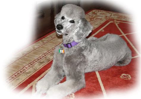 puppies pittsburgh pa miniature poodle breeders pittsburgh pa dogs in our photo
