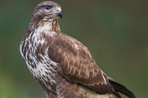 Show Me A Picture Of A Buzzard
