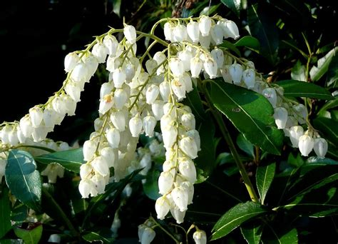 andromeda flowering shrub andromeda plant info learn about pieris japonica growing