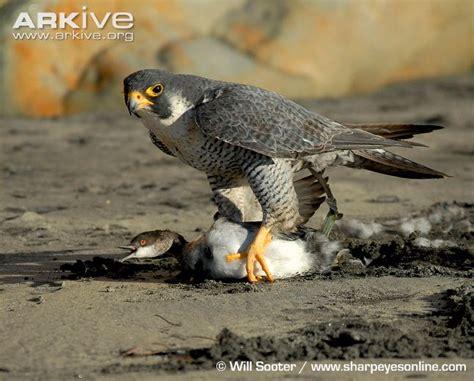 pubichairwomen62rsold peregrine falcon prey peregrine falcon peregrine falcon
